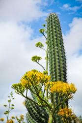 Cactus and flowering Agave in Aruba