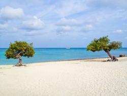 Famous Fofoti trees at Eagle Beach Aruba