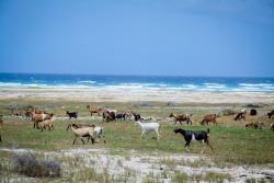 Goats in Aruba north coast