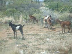 aruba goat.jpg